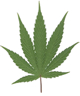 Image of cannabis leaf